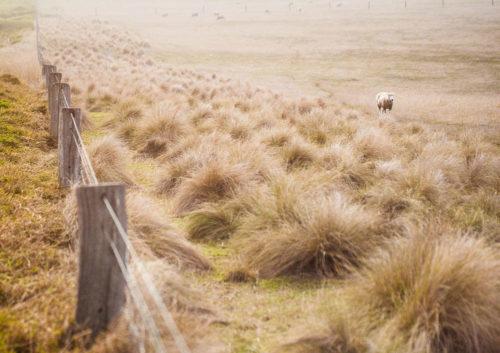 Schaf auf Weide