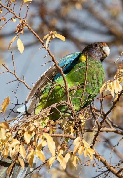 Papagei in Australien